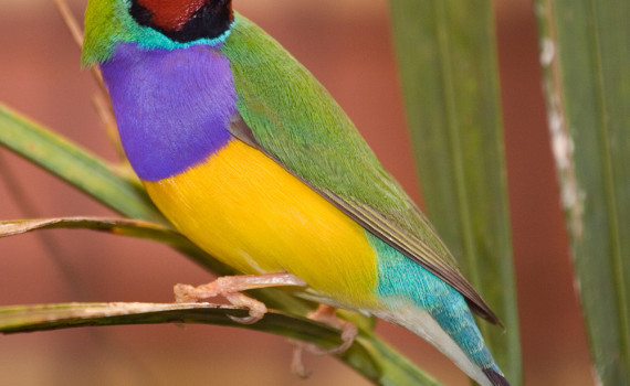 Photo from wikipedia of Gouldian Finch