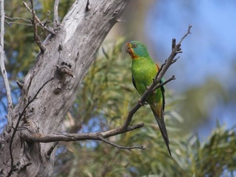 swiftparrot